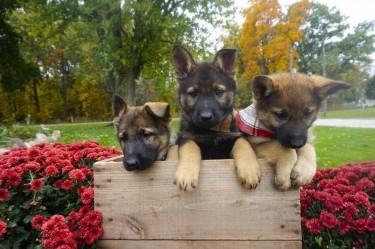 Black And Tan Chunky Kc Reg German Shepherd Pups