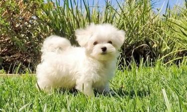 Stunning Kc Reg Maltese Puppies