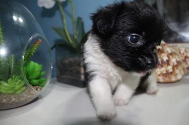 Shih Tzu Chihuahua Puppies
