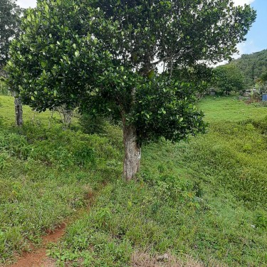 7.7 Acres Land, Lumsden, St. Ann For Ready Buyer