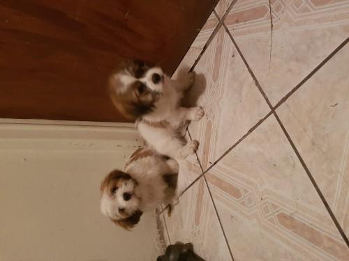 2 Males Shihtzu Poodle Pupps