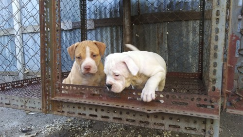 Large Bulldog Bully Pups