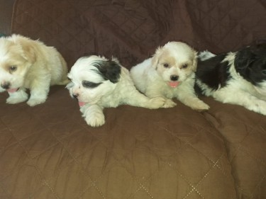 Adorable Shih-tzu Poodle Pups, 23k .