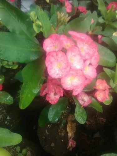 Crown Of Thorns Flowers Plants
