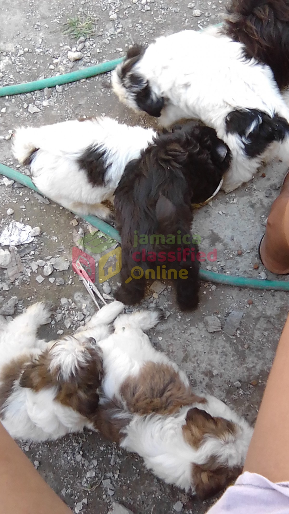 Shih Tzu Puppies For Sale In Falmouth Trelawny Dogs