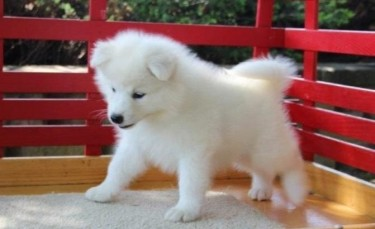 Nice And Cute Samoyed Puppies Are Available