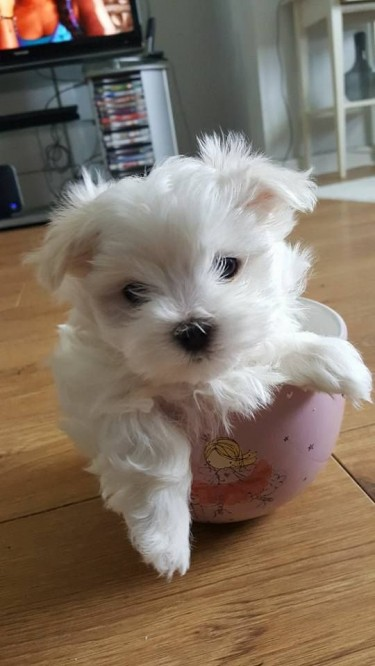 Cute Maltese Puppy That Will Melt Your Heart.