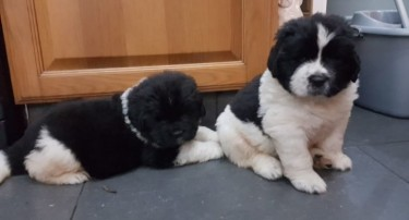 Newfoundland Puppies Are Available Now.