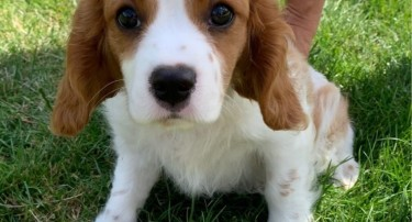 King Of Cavaliers Charles Puppies.