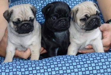 Cute And Healthy Pug Puppies Available Now
