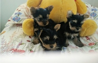 Champion Sired Yorkshire Terrier Ready