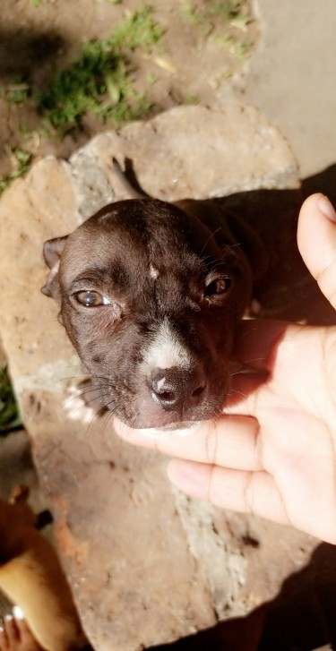 Pitbull Pupps For Sale