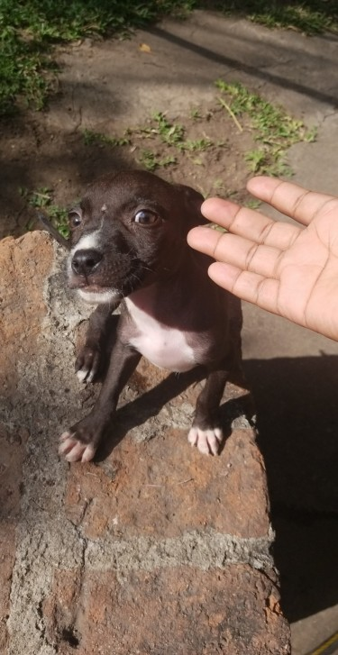 2 Pitbull Pups Left For Sale...