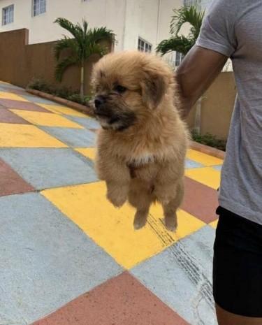 Pomeranian X Shih Tzu Mixbreed