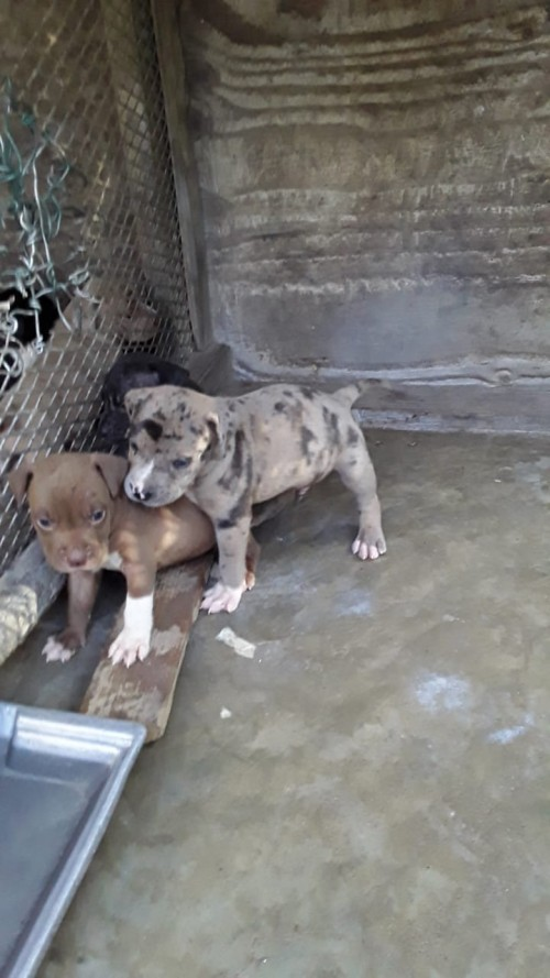 Catahula/pittbull Mix Puppies