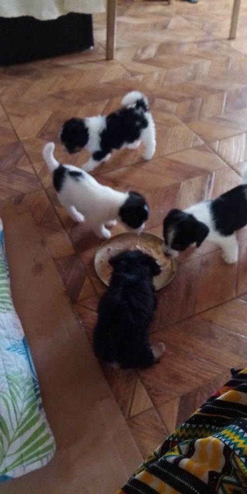 Puppies Mix Small Breed Jack Russell And Shizu Mix