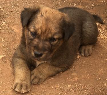 Rottweiler Pitbull Puppies