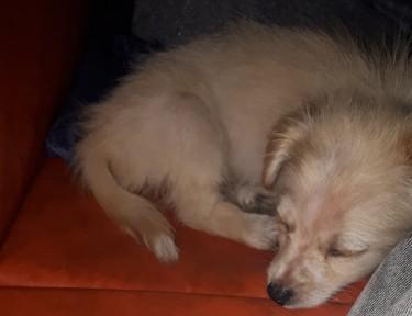 Shitzu Mix With Pomeranian