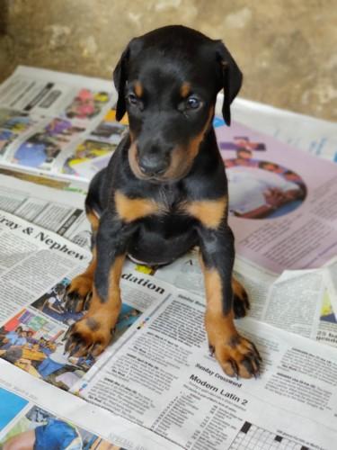 Registered Doberman Puppy
