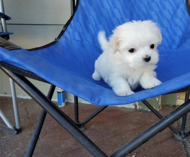 Maltese Puppies For Sale...whatsapp Me At: +44741