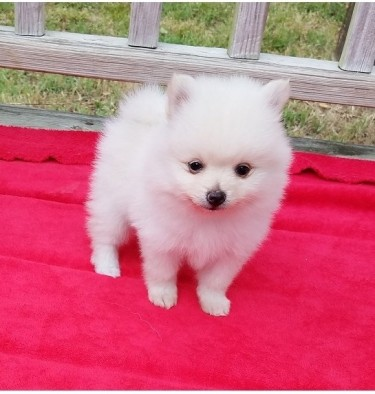 Boy & Girl Kc Pomeranians ...whatsapp Me At: +4474