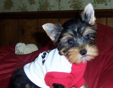 Yorkshire Terrier Puppies...whatsapp Me At: +44741