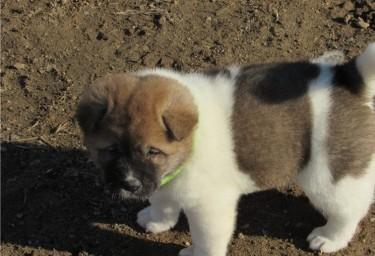 Beautiful  Akita Puppies ..whatsapp Me At: +447418