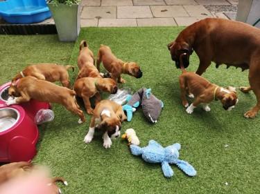 Beautiful Boxer Puppies..whatsapp Me At: +44741834