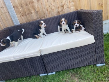 Beautiful Beagle Puppies...whatsapp Me At: +447418