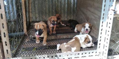 French Mastiff Mix X Bulldog Puppies 70k Neg