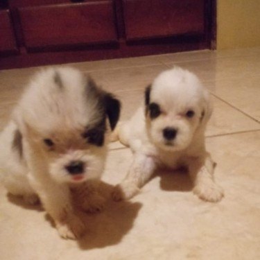 Shitzu Pups For Sale