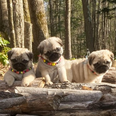 Beautiful Lovely Pug Puppies For Adoption