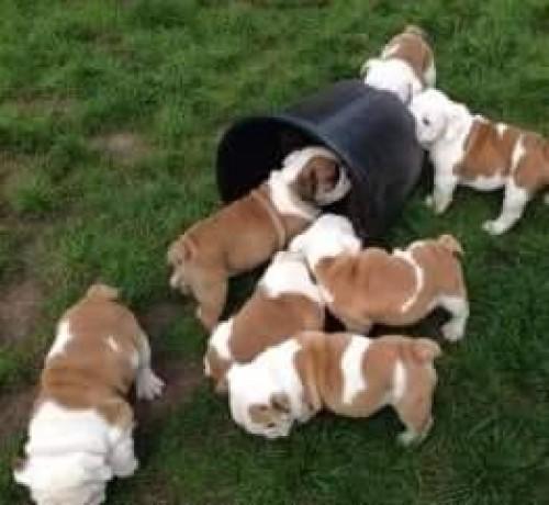 English Bulldogs For Adoption Watsapp +15102101065