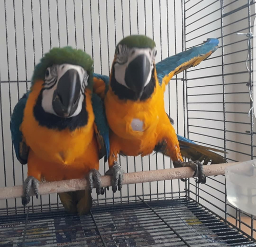 Macaw Parrots For Adoption WhatsApp +15102101065