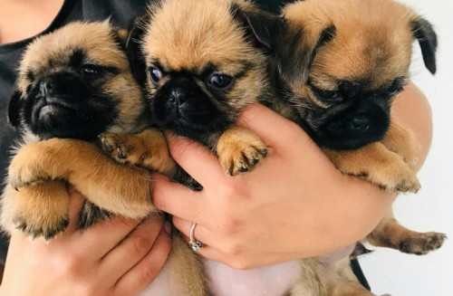 Pug Puppies For Adoption WhatsApp +15102101065