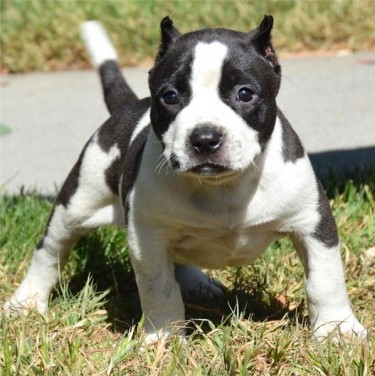 Marvelous Pitbull Puppies For Sale