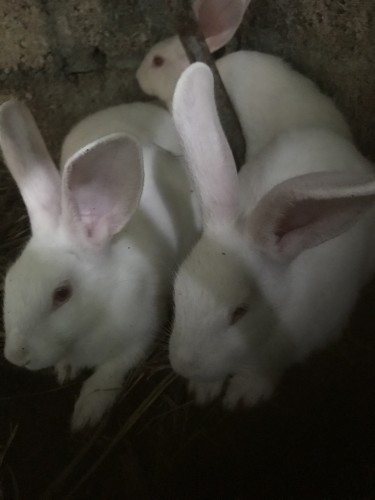 Young New Zealand White Rabbits