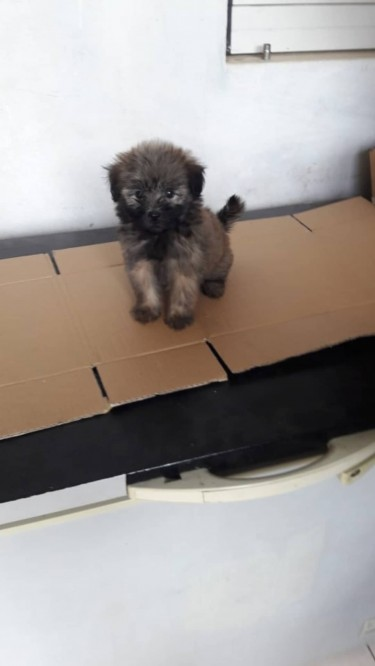 Shih Tzu Poodle Puppies - WHATSAPP MESSAGE ONLY