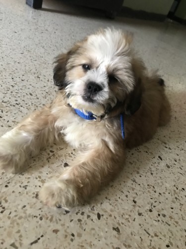 Shih_ Tzu Four Months Old For Sale