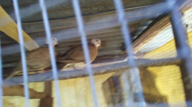 All Type Of Barble Doves