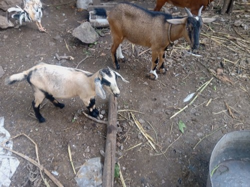 Goats One Pregnant And One Mix