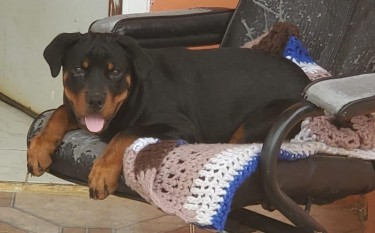 MALE ROTTWEILER PUPPY FOR SALE 4 MOTNHS OLD