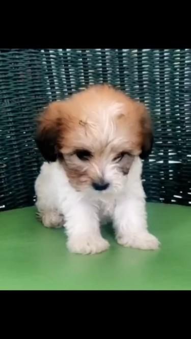 Shih Tzu X Chihuahua Pup