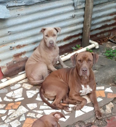 Adult Pitbulls (2 Males One Female)