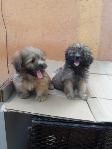 Female Shih Tzu Poodles WHATSAPP MESSAGE ONLY