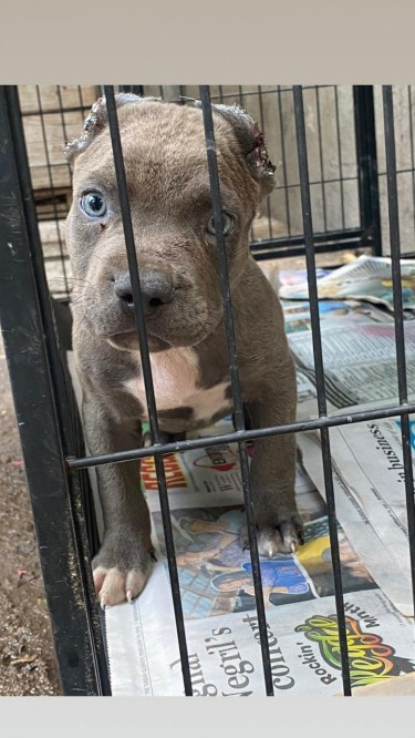 BLUE NOSE PUPPY FOR SALE