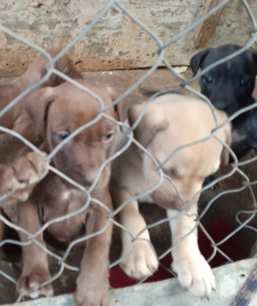 Mastiff Puppies (massive Dogs)