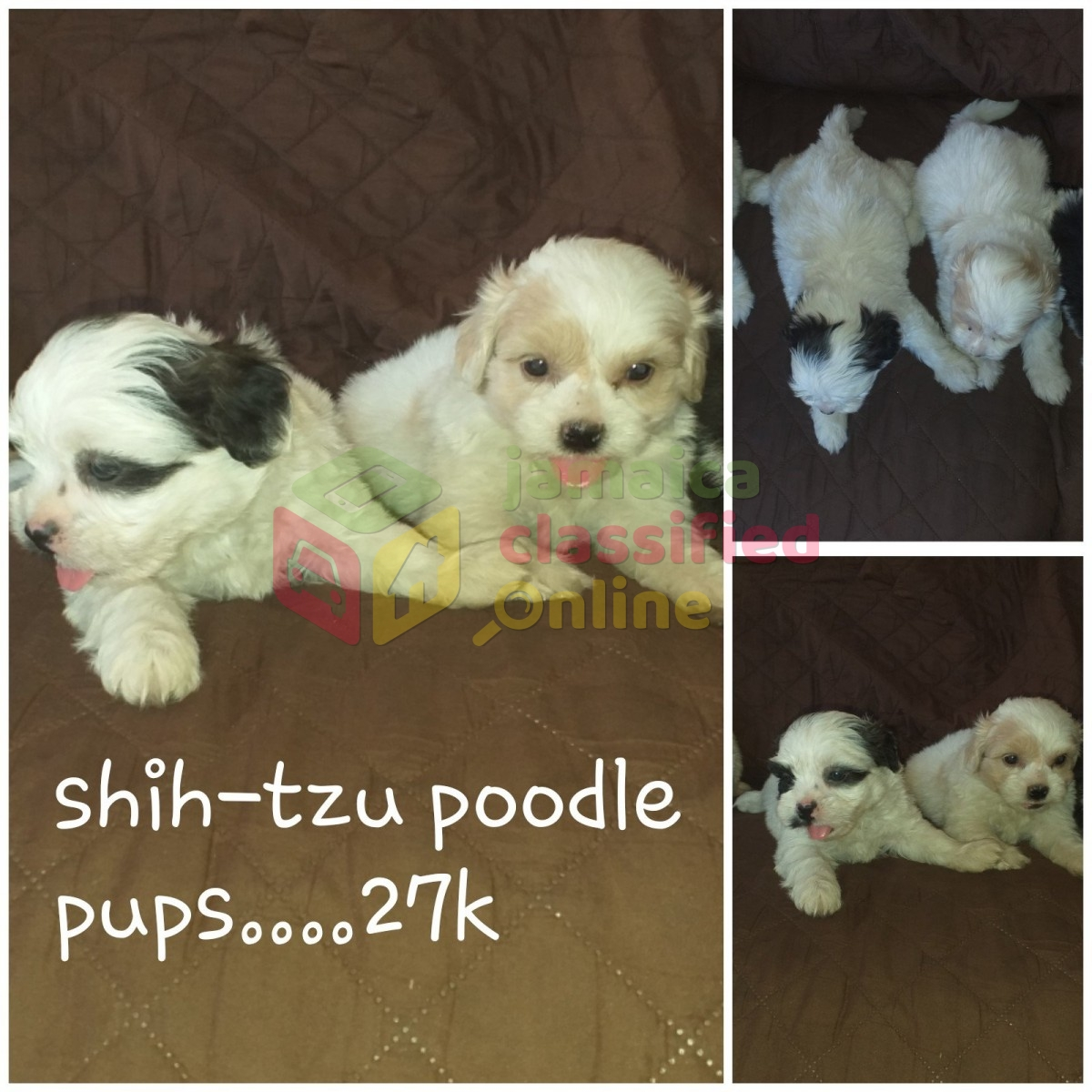Adorable Shih Tzu Poodle Pups For Sale In Angels St Catherine Dogs