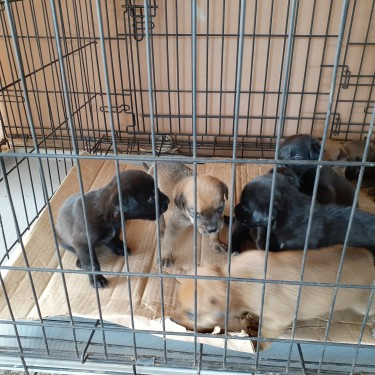 Mixed Puppies For Sale WhatsApp For More Info