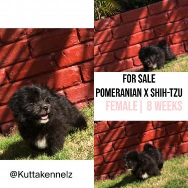 Pomeranian X Shih-tzu Mix